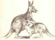 kangurud