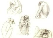 shimpans